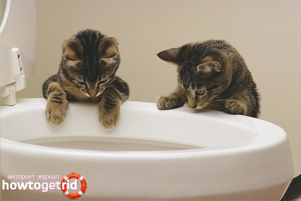 Как приучить котенка к лотку: 8 шагов 53