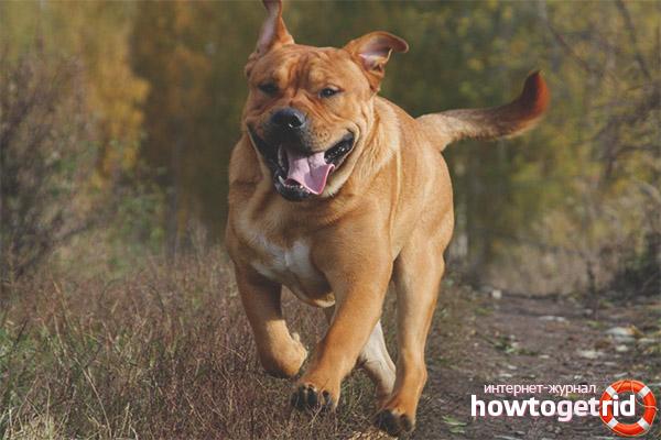 Как выгуливать собаку ка де бо