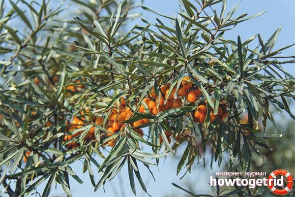Полезные свойства и противопоказания листьев облепихи
