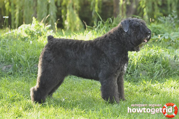Порода собак фландрский бувье