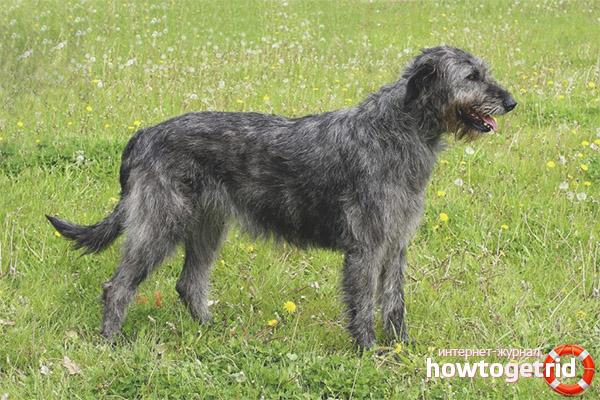 Порода собак ирландский волкодав
