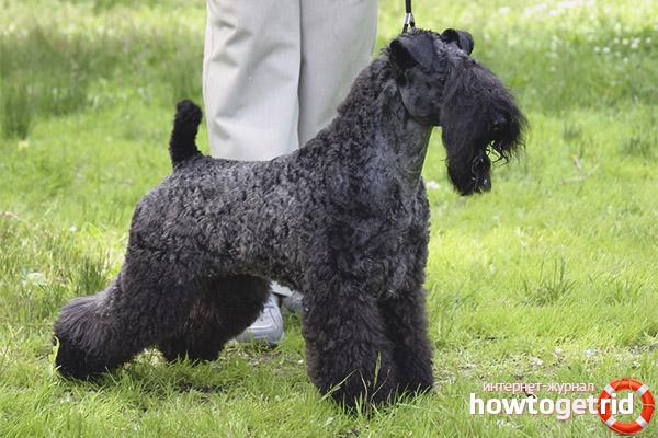 Порода собак керри-блю-терьер
