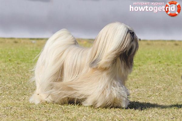 Порода собак лхаса апсо