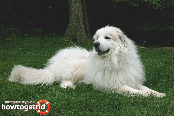Содержание и уход за пиренейской собакой