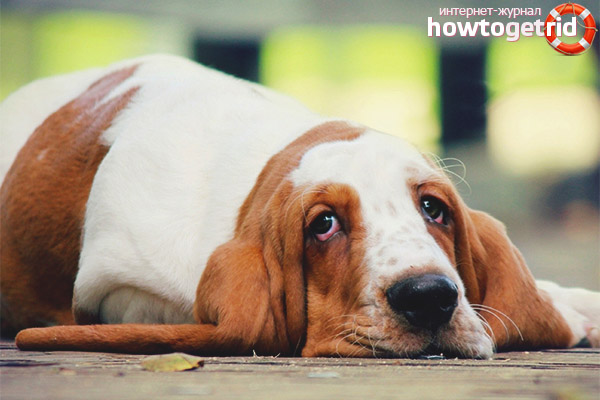 Темперамент собаки бассет-хаунд