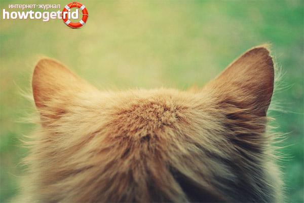 У кошки горячие уши