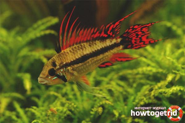 Аквариумная рыбка апистограмма какаду