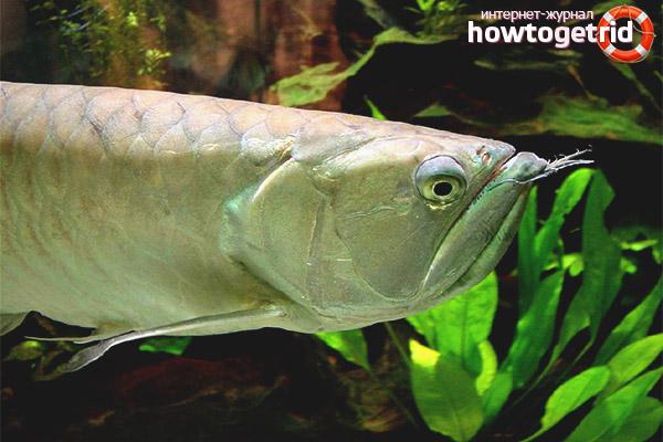 Аквариумная рыбка аравана