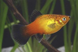 Аквариумная рыбка пецилия