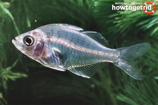 Аквариумная рыбка стеклянный окунь