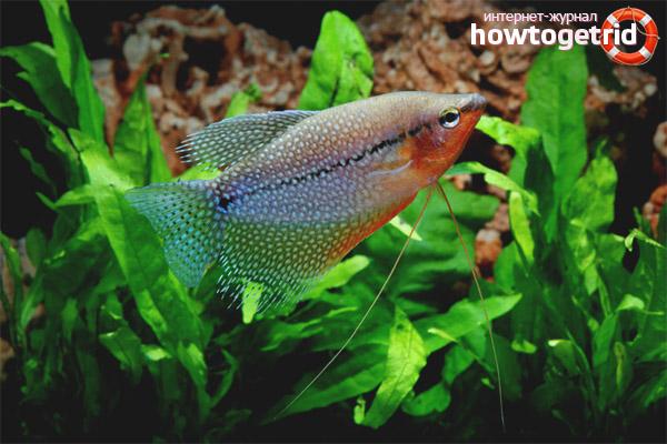Аквариумные рыбка жемчужный гурами