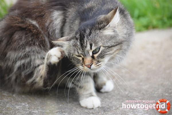 Блохи у котов