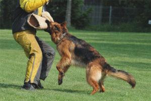 Как научить собаку команде фас