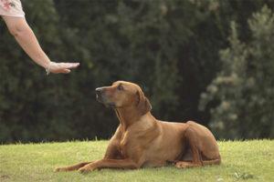 Как научить собаку команде «лежать!»