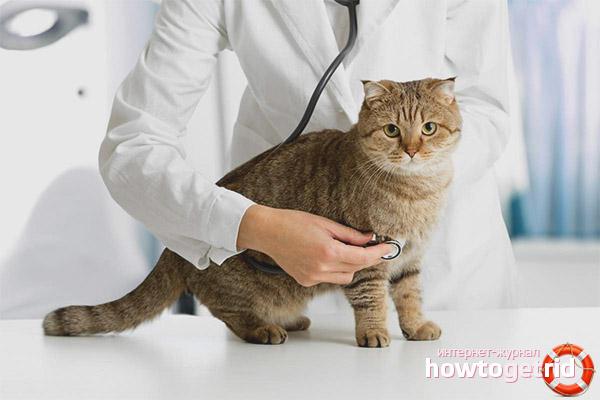 Как вылечить ложную беременность у кошек