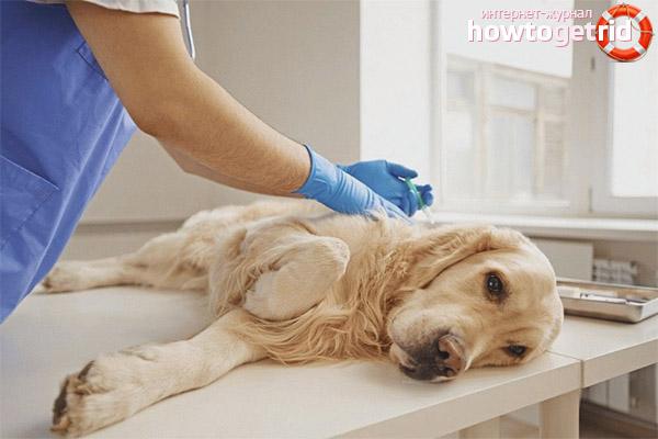 Как вылечить ложную беременность у собак
