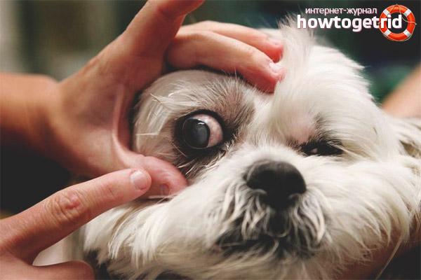 Конъюнктивит у собак