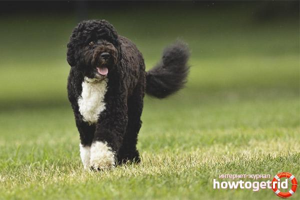 Особенности характера португальской водяной собаки