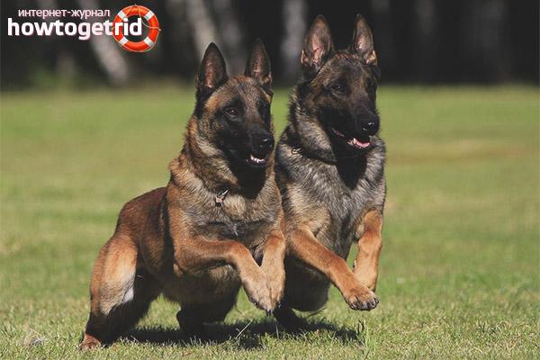 Порода собак бельгийская овчарка