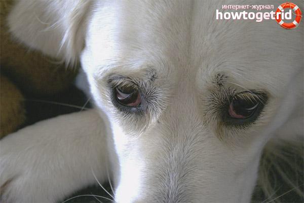 Разновидности конъюнктивита у собак