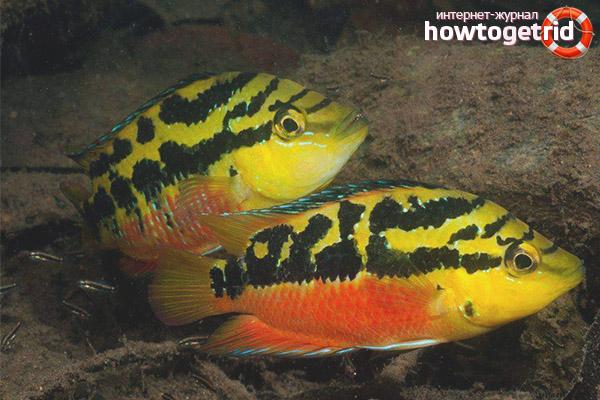 Разведение рыбки цихлазомы сальвини