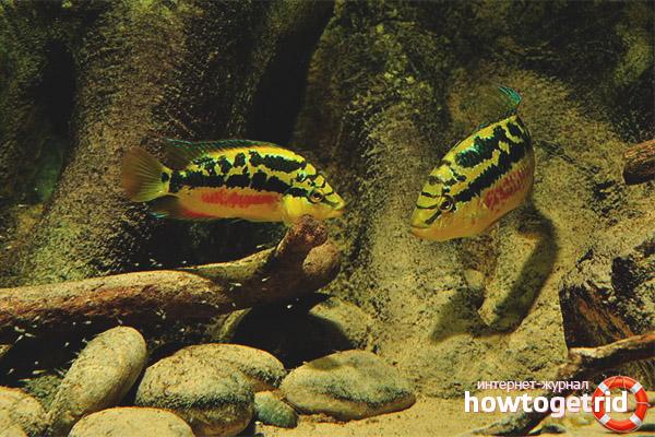 Содержание рыбки цихлазомы сальвини