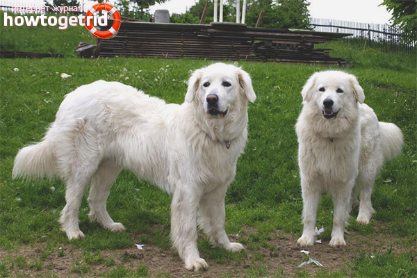Содержание собаки породы словацкий чувач