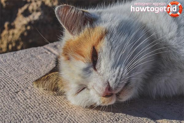 Тепловой удар у кошек