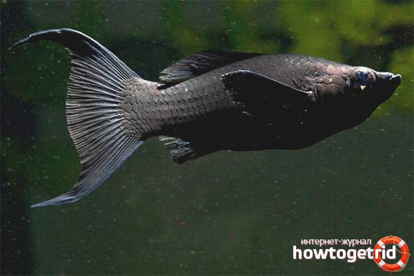 Аквариумная рыбка черная моллинезия