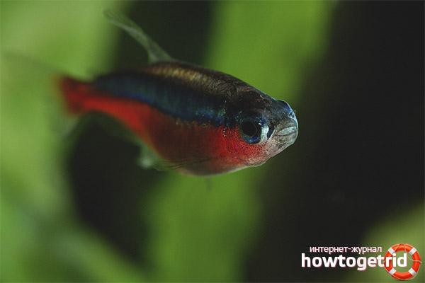 Аквариумная рыбка красный неон