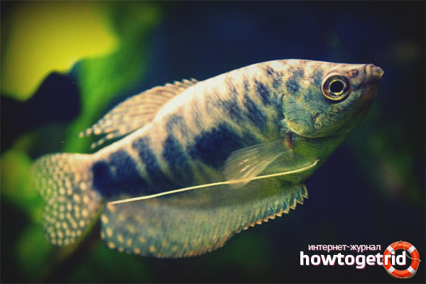 Аквариумная рыбка мраморный гурами