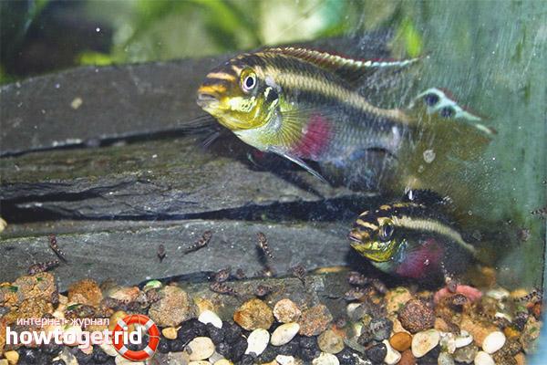 Аквариумная рыбка пельвикахромис пульхер