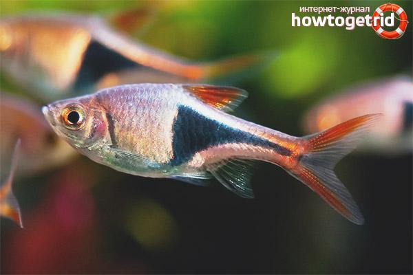 Аквариумная рыбка расбора гетероморфа
