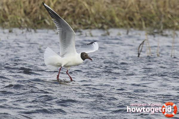 Питание озерной чайки