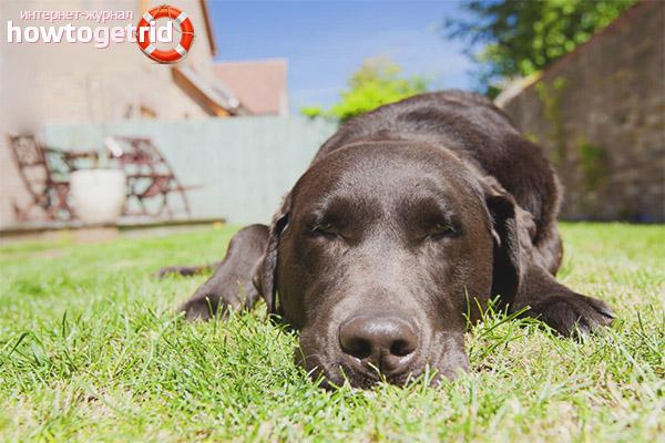 Помощь при тепловом ударе у собаки