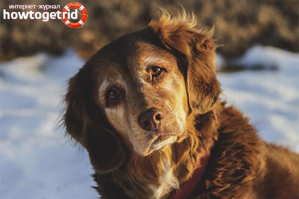 Порода собак новошотландский ретривер