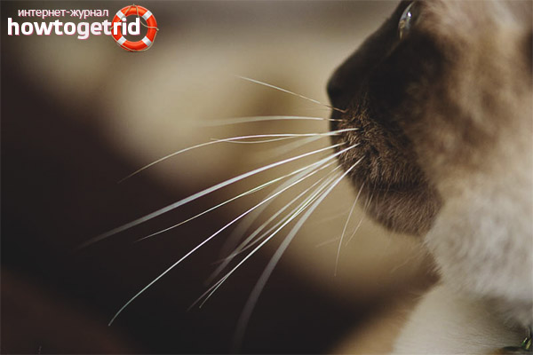 Причины, по которым выпадают усы котов