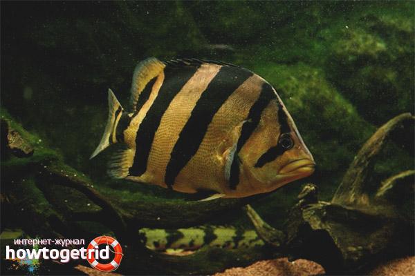 Проблемы содержания тигрового окуня