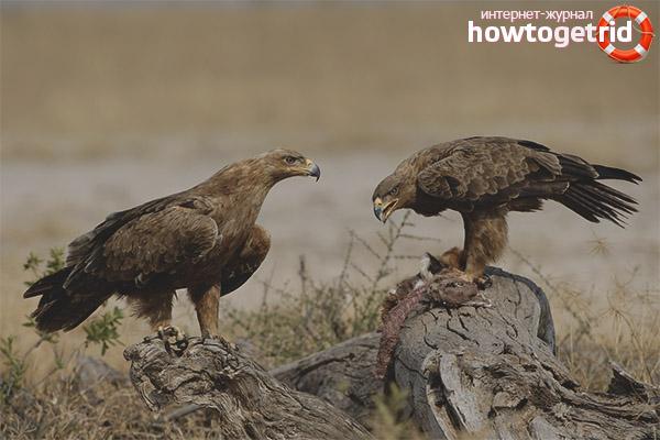 Рацион и особенности охоты степного орла