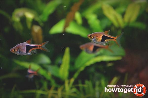 Размножение расборы гетероморфы