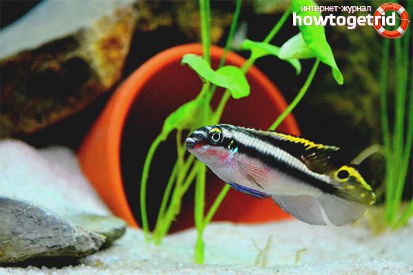 Размножение рыбки пельвикахромис пульхер