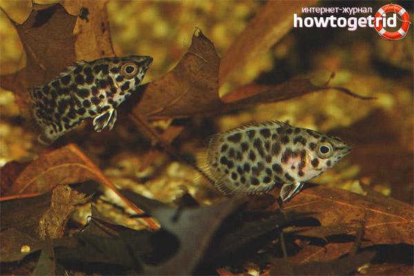 Разведение ктенопомы леопардовой