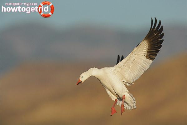 Ритм жизни белого гуся