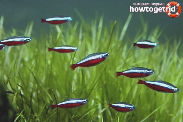 Содержание рыбки красный неон