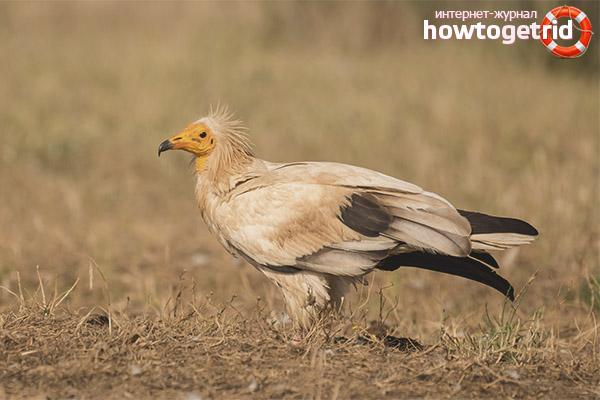 Ареал обитания стервятника