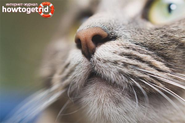 Больной нос у кошки