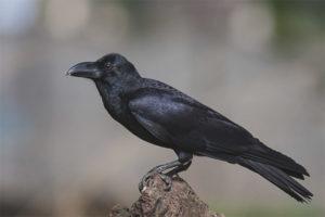Большеклювая ворона