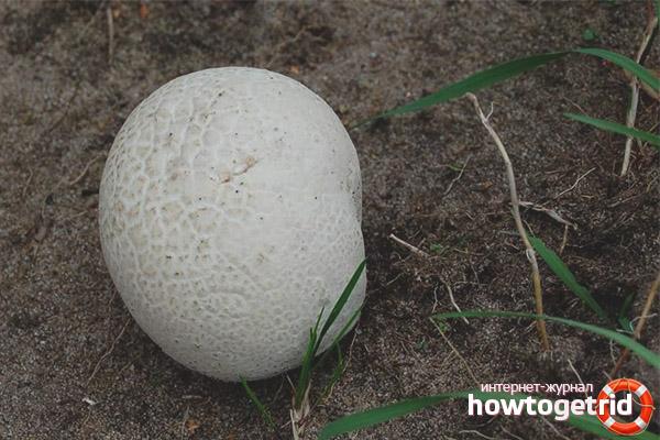 гриб головач фото описание