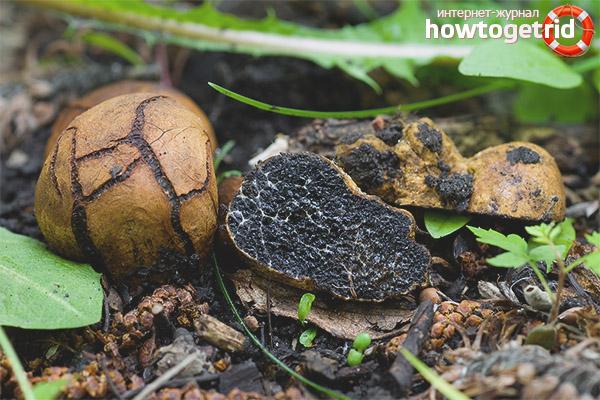 Melanogaster broomeanus