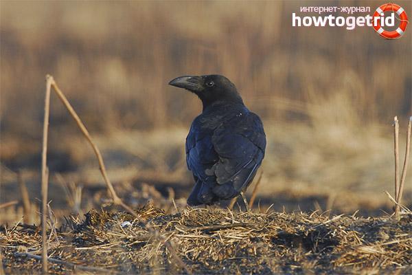 Особенности гнездования большеклювой воронаы